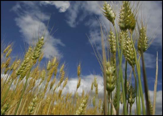 analisis del trigo